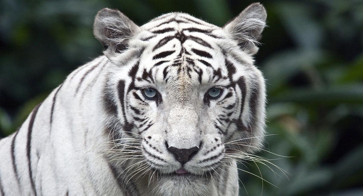 Силай сексуальныеучения белой тигрици